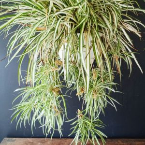 ehfloral hanging plants